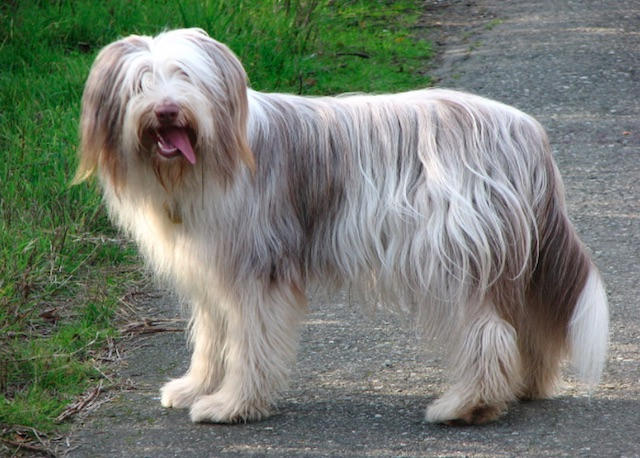 Bearded Collie Quelle Wikipedia